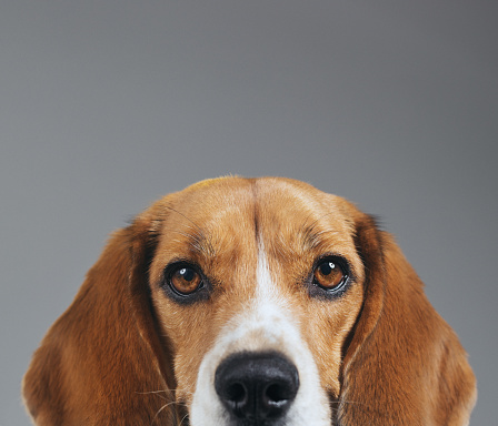 Animal Themes「Half face studio portrait of Beagle dog against gray background」:スマホ壁紙(15)