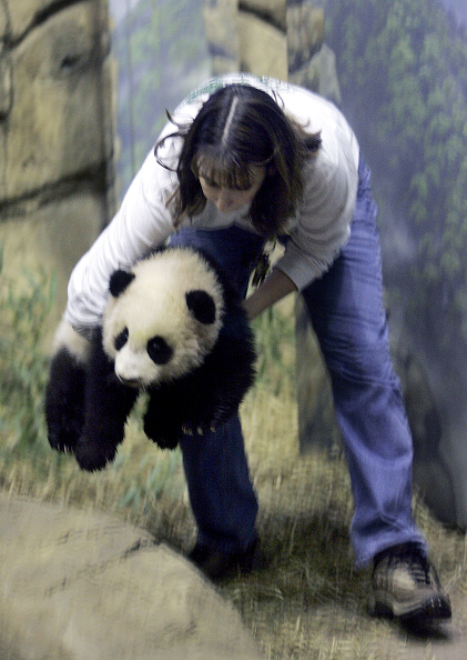 Bear Cub「National Zoo Exhibits Its New Giant Panda Cub」:写真・画像(7)[壁紙.com]