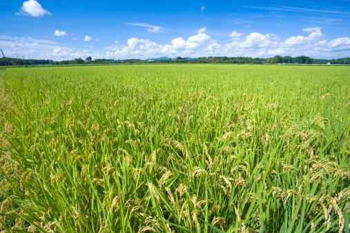 Ibaraki Prefecture「Rice crop, Ibaraki Prefecture, Honshu, Japan」:スマホ壁紙(10)