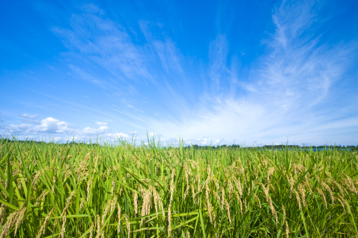 日本「Rice crop, Ibaraki Prefecture, Honshu, Japan」:スマホ壁紙(17)