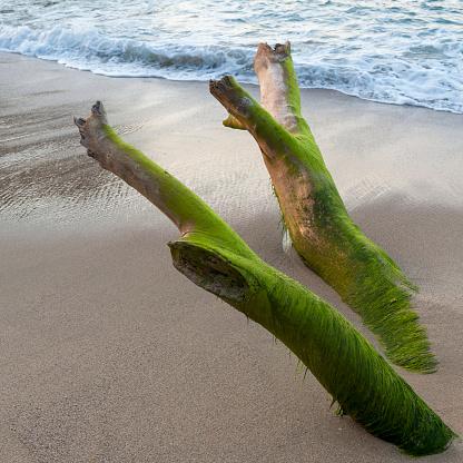 Sayulita「Seaweed covering driftwood on the beach; sayulita mexico」:スマホ壁紙(16)