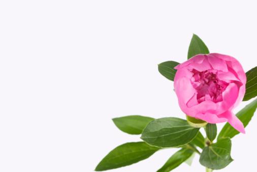 Blossom「Peony」:スマホ壁紙(12)