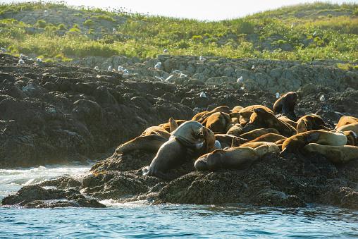 Sea Lion「Wild Sea Lions Reclining on Rugged Coastline Vacouver Island Canada」:スマホ壁紙(12)