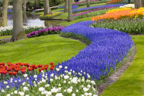 Keukenhof Gardens「Beautiful flower bed of tulips in park」:スマホ壁紙(4)