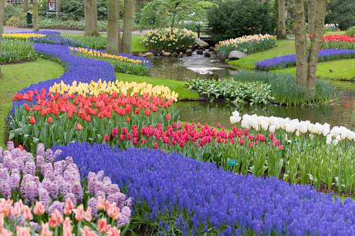 Keukenhof Gardens「Beautiful flower bed of multicolored tulips in park (XXL)」:スマホ壁紙(11)