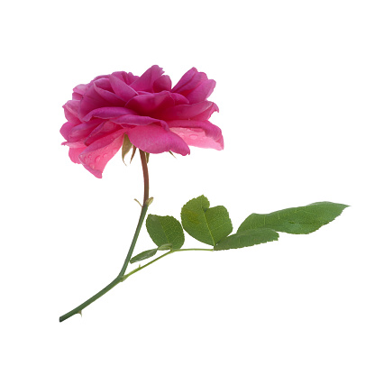 Saturated Color「Beautiful, fragrant pink rose with leaf, Rosa Gertrude Jekyll.」:スマホ壁紙(11)