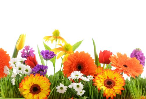 チューリップ「美しい花々」:スマホ壁紙(10)