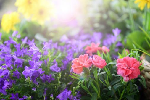 カーネーション「美しい花々」:スマホ壁紙(10)