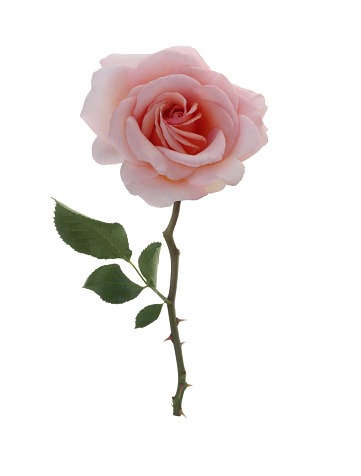Pale Pink「Beautiful fragrant pale pink rose with leaf on white.」:スマホ壁紙(15)