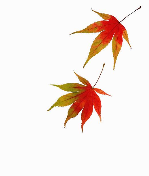 Two autumnal maple leaves:スマホ壁紙(壁紙.com)