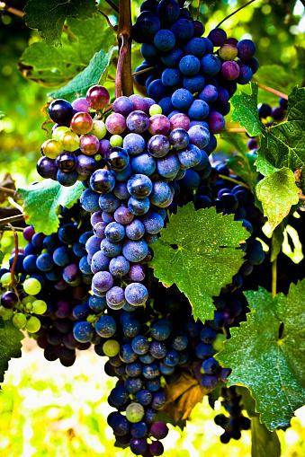 Red Grape「Grapes on the vine.」:スマホ壁紙(13)