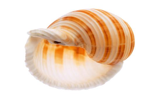 カタツムリ「'Sea shell, banded tun, Tonna Sulcosa'」:スマホ壁紙(16)