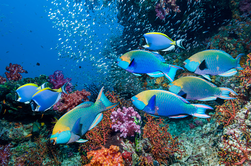 Soft Coral「Coral reef with parrotfish」:スマホ壁紙(8)