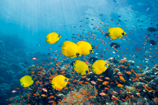 Tropical fish「Coral reef scenery with butterflyfish」:スマホ壁紙(12)
