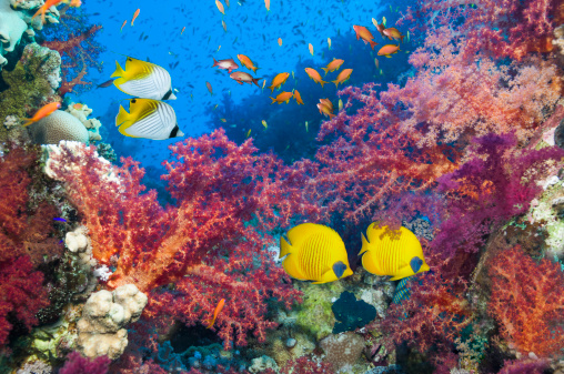 Tropical fish「Coral reef scenery with butterflyfish」:スマホ壁紙(4)