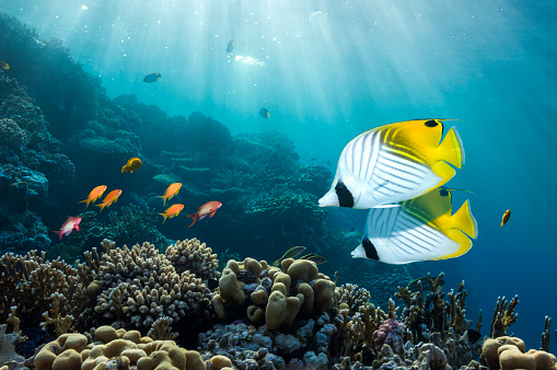 Ecosystem「Coral reef scenery with butterflyfish」:スマホ壁紙(10)