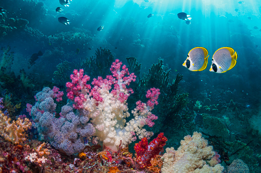 Soft Coral「Coral reef scenery with butterflyfish」:スマホ壁紙(7)