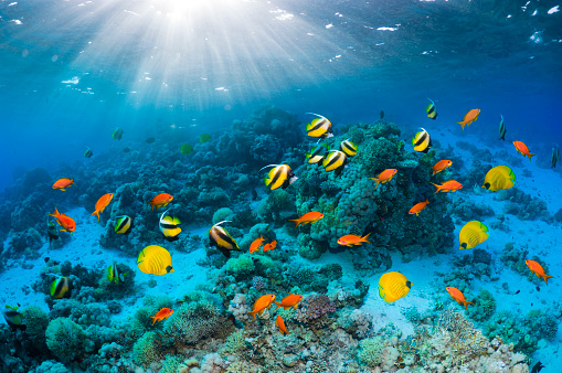 Tropical fish「Coral reef scenery with Butterflyfish」:スマホ壁紙(3)