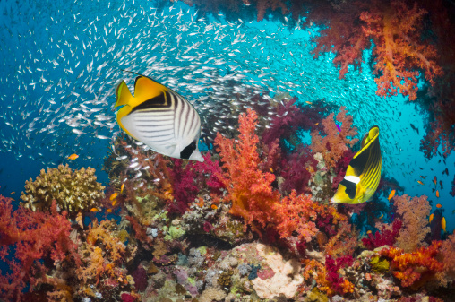 Red Alcyonarian Soft Coral「Coral reef scenery with butterflyfish」:スマホ壁紙(16)