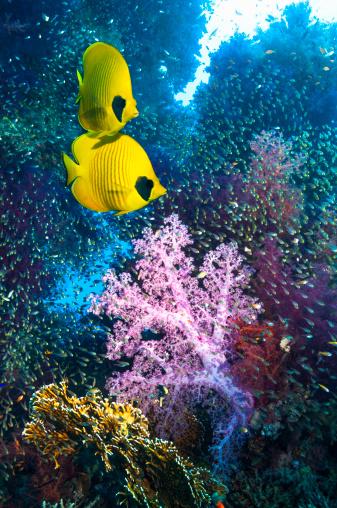 魚・熱帯魚「Coral reef scenery with butterflyfish」:スマホ壁紙(17)