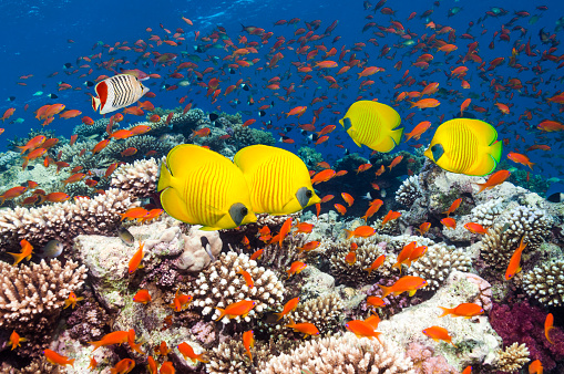 Masked Butterflyfish「Coral reef scenery with butterflyfish」:スマホ壁紙(19)