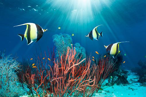 Ecosystem「Coral reef scenery with Moorish idols.」:スマホ壁紙(9)