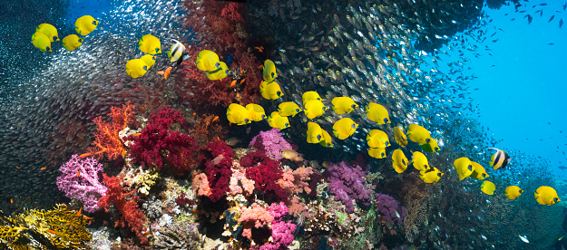 Soft Coral「Coral reef with golden butterflyfish」:スマホ壁紙(2)