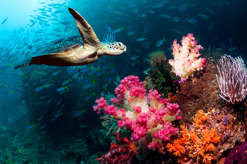 Soft Coral「Coral reef scenery with a Green sea turtle」:スマホ壁紙(7)