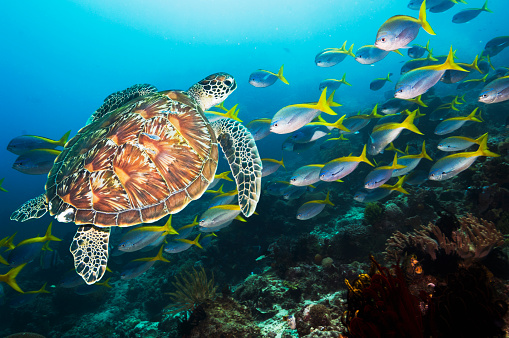 Green Turtle「Coral reef scenery with a Green sea turtle and fusiliers」:スマホ壁紙(6)