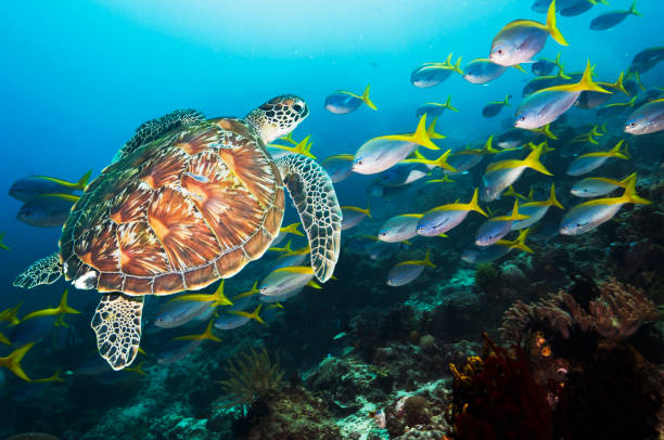 Coral reef scenery with a Green sea turtle and fusiliers:スマホ壁紙(壁紙.com)