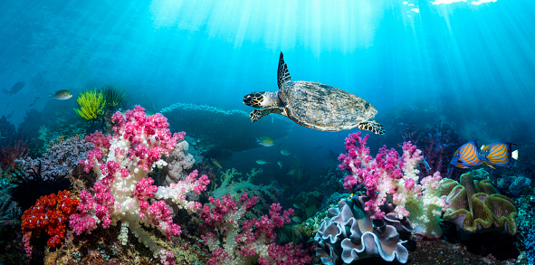 Soft Coral「Coral reef sceneryn with a Hawksbill sea turtle」:スマホ壁紙(2)