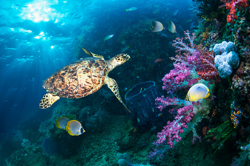 Soft Coral「coral reef scenery with a Hawksbill turtle」:スマホ壁紙(14)