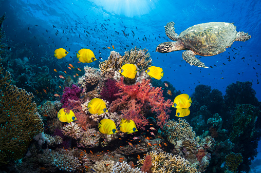 Hawksbill Turtle「Coral reef with fish and turtle」:スマホ壁紙(5)