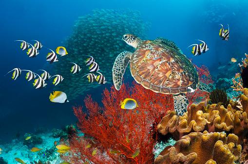 Green Turtle「Coral reef scenery with green turtle」:スマホ壁紙(19)