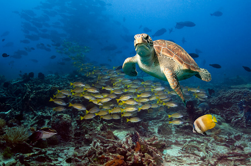 Green Turtle「Coral reef scenery with Green turtle.」:スマホ壁紙(2)