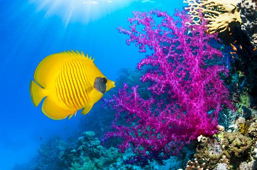 Butterflyfish「coral reef scenery」:スマホ壁紙(15)