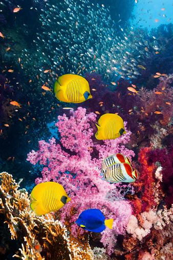 Masked Butterflyfish「Coral reef scenery」:スマホ壁紙(11)