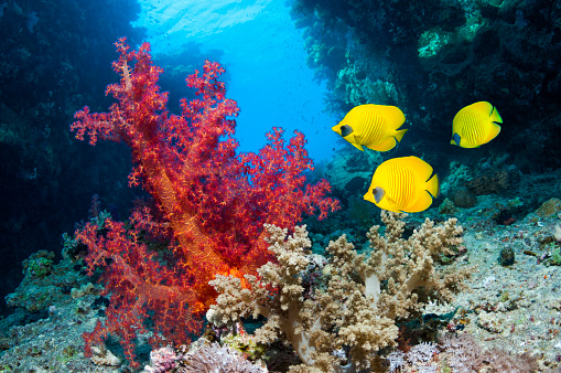 Masked Butterflyfish「Coral reef scenery」:スマホ壁紙(10)