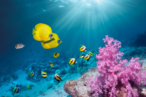 Tropical fish「Coral reef with Butterflyfish」:スマホ壁紙(13)