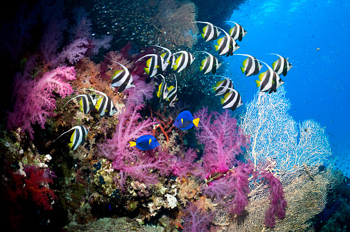 Soft Coral「Coral reef scenery with bannerfish」:スマホ壁紙(9)
