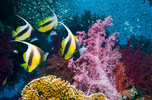 熱帯魚「Coral reef scenery with bannerfish」:スマホ壁紙(8)