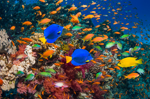 Tropical fish「Coral reef with yellow tang and goldies」:スマホ壁紙(19)