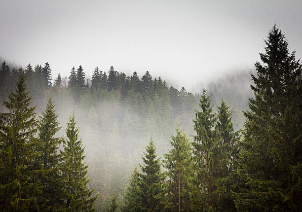 Picture of a spruce forest on a cold foggy day:スマホ壁紙(壁紙.com)