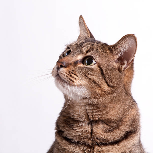 A picture of a cat on a white background looking up:スマホ壁紙(壁紙.com)