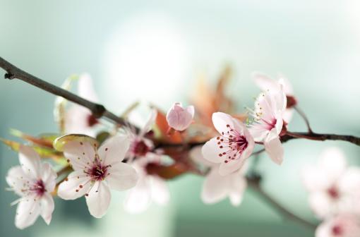 桜「日本の桜の花」:スマホ壁紙(4)