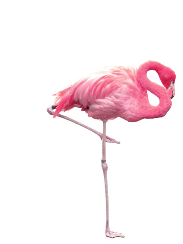 One Animal「Picture of pink flamingo sleeping on one leg」:スマホ壁紙(0)