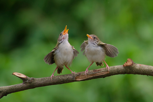 Side By Side「Two Bar-winged prinia birds on a branch, Banten, Indonesia」:スマホ壁紙(6)