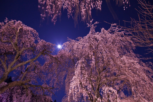 夜桜「Weeping Cherry Tree in Full Moon」:スマホ壁紙(1)