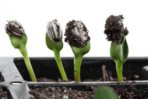 ひまわり「Sprouting」:スマホ壁紙(19)