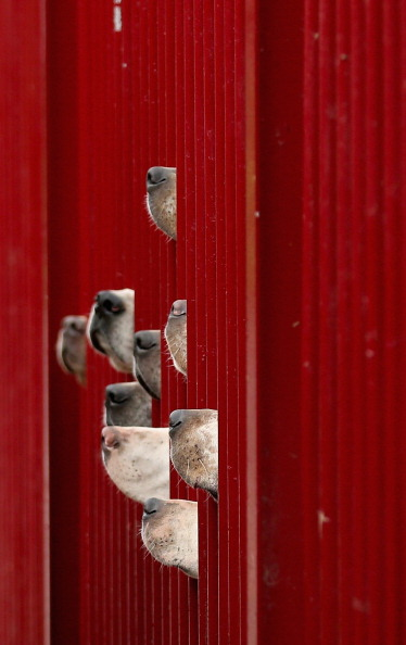Cheshire - England「Kennels Prepare Their Dogs For The Start Of The Fox Hunting Season」:写真・画像(3)[壁紙.com]